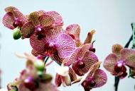 蝴蝶兰花卉图片(10张)
