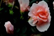粉色杜鹃花图片(12张)