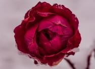 一朵娇艳的红玫瑰图片(13张)