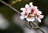 白色樱花图片(15张)