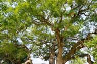 绿色大伞一样的大榕树图片(10张)