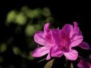 杜鹃花图片(13张)