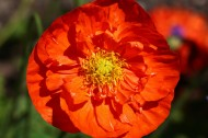 红色罂粟花图片(15张)