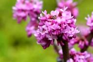 紫荆花图片(7张)