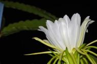 白色的火龙果花图片(13张)