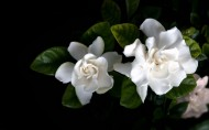 美丽的栀子花图片(11张)