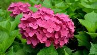 红色绣球花图片(8张)