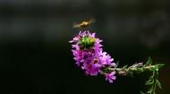 紫色千屈菜图片(8张)