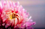 色彩艳丽的菊花图片(11张)