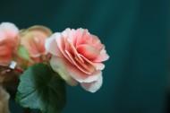 羞涩唯美的球根海棠图片(10张)