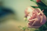 娇嫩的粉玫瑰图片(13张)