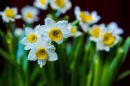美丽的水仙花图片(5张)