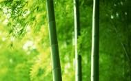 青翠的竹林图片(19张)