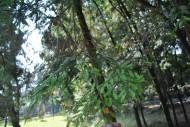 鸡毛松植物图片(2张)