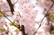 如云似霞的樱花图片(15张)
