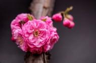 美丽的桃花图片(16张)