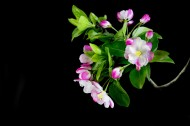 粉色海棠花图片(14张)