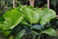圆叶刺轴榈图片(1张)