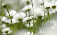美丽雏菊图片(30张)