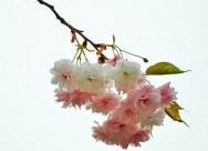 素色樱花图片(10张)
