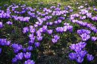 美丽的藏红花图片(16张)