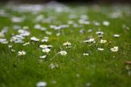 草地上的雏菊图片(9张)