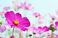 清新波斯菊花卉图片(13张)