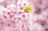 粉艳的樱花图片(12张)