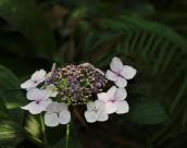 绣球花图片(5张)