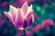 一朵美丽的郁金香图片(15张)