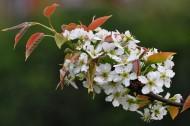 雪白的梨花图片(14张)