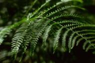 蕨类植物图片(15张)