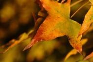 秋天的树叶图片(7张)