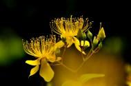 金丝桃花卉图片(9张)