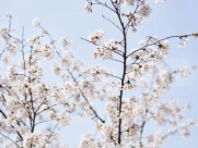 春日樱花图片(9张)