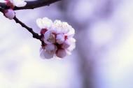白色杏花图片(10张)