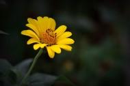 黄色野菊花图片(12张)