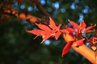 冬日红叶图片(5张)
