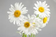 盛开的白色雏菊图片(20张)