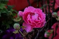 红色牡丹花图片(9张)