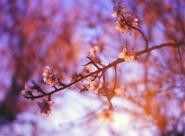 盛开的樱花图片(12张)