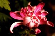各种颜色的菊花图片(20张)