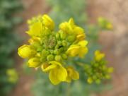 黄色油菜花图片(15张)