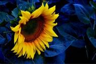 黄色向日葵图片(10张)