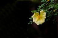 黄刺玫图片(12张)