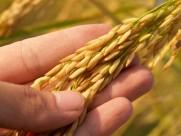 成熟的小麦图片(12张)