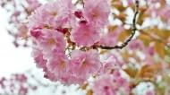 樱花高清图片(11张)