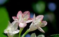 红王子锦带花图片(9张)