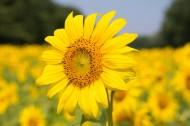 盛开的向日葵图片(13张)