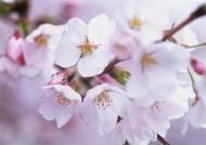 鲜艳的海棠花图片(24张)